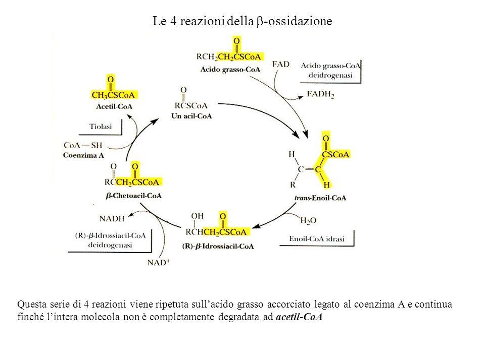 Le 4 reazioni della -ossidazione Questa serie di 4 reazioni viene ripetuta sullacido grasso accorciato legato al coenzima A e continua finché lintera