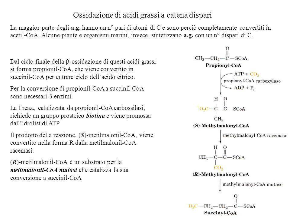 Ossidazione di acidi grassi a catena dispari La maggior parte degli a.g. hanno un n° pari di atomi di C e sono perciò completamente convertiti in acet