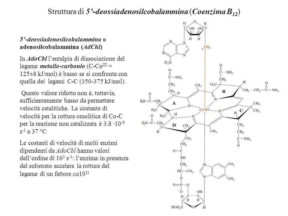 Struttura di 5-deossiadenosilcobalammina (Coenzima B 12 ) 5-deossiadenosilcobalammina o adenosilcobalammina (AdChl) In AdoCbl lentalpia di dissociazio