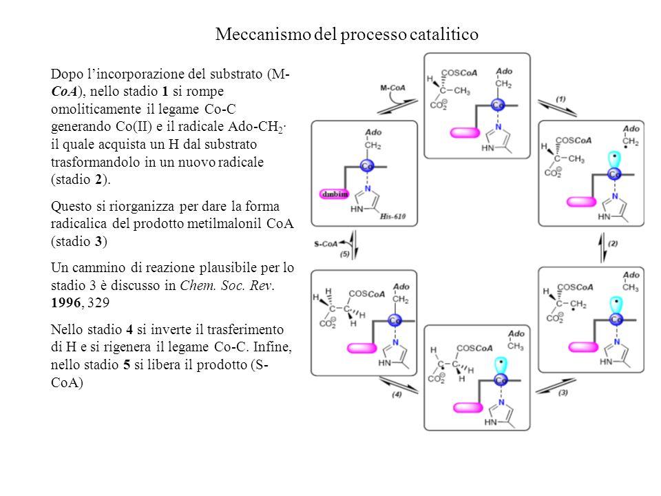 Meccanismo del processo catalitico Dopo lincorporazione del substrato (M- CoA), nello stadio 1 si rompe omoliticamente il legame Co-C generando Co(II)