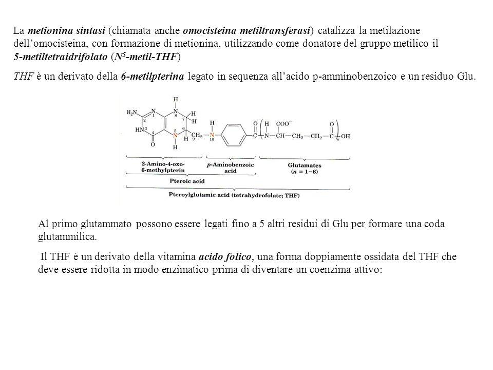 La metionina sintasi (chiamata anche omocisteina metiltransferasi) catalizza la metilazione dellomocisteina, con formazione di metionina, utilizzando