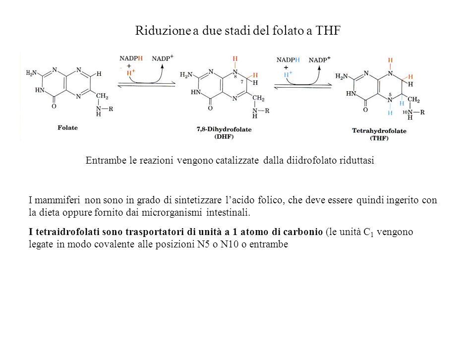 Riduzione a due stadi del folato a THF Entrambe le reazioni vengono catalizzate dalla diidrofolato riduttasi I mammiferi non sono in grado di sintetiz
