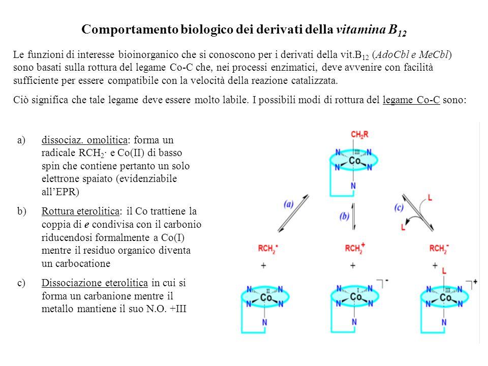 Comportamento biologico dei derivati della vitamina B 12 Le funzioni di interesse bioinorganico che si conoscono per i derivati della vit.B 12 (AdoCbl