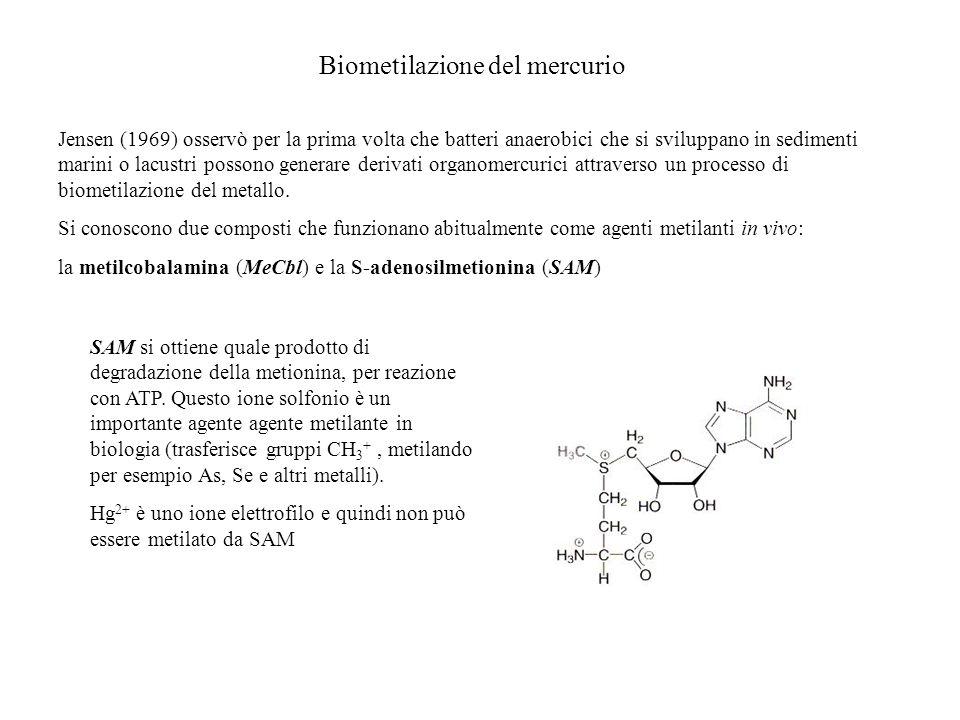 Metilazione del Hg(II) Lunico agente metilante è la metilcobalammina (MeCbl): essa reagisce con acetato di Hg(II) in H 2 O metilando il metallo attraverso un processo di transmetilazione.