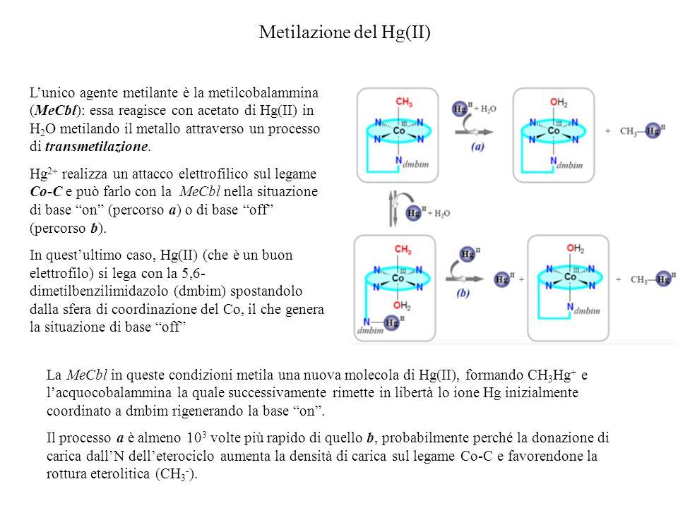 Tossicologia del mercurio Hg(0): essendo volatile si deposita nei polmoni attraverso i quali si incorpora nellorganismo (reni e cervello).