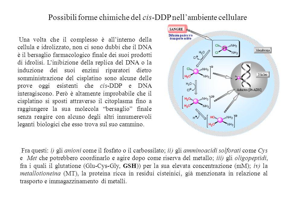 Possibili forme chimiche del cis-DDP nellambiente cellulare Una volta che il complesso è allinterno della cellula e idrolizzato, non ci sono dubbi che