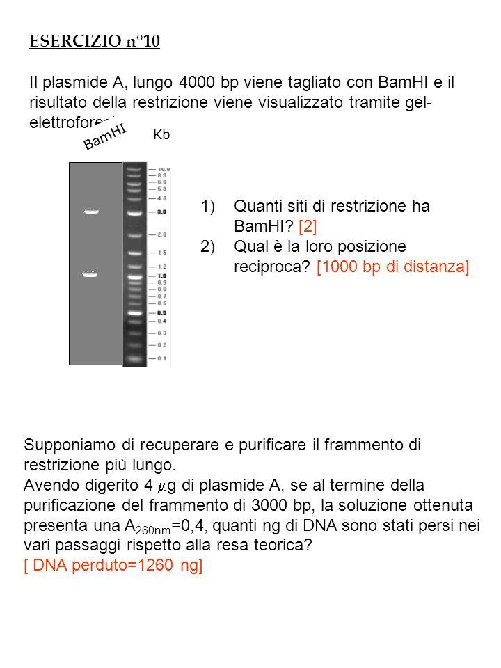 ESERCIZIO n°10 Il plasmide A, lungo 4000 bp viene tagliato con BamHI e il risultato della restrizione viene visualizzato tramite gel- elettroforesi: Kb BamHI 1)Quanti siti di restrizione ha BamHI.