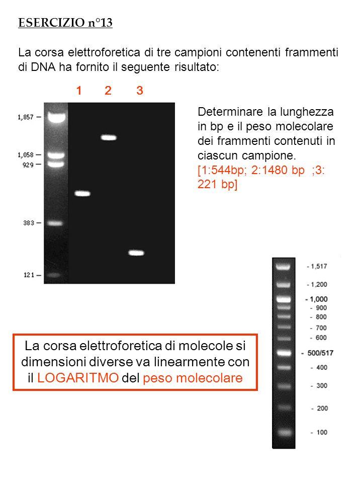 ESERCIZIO n°13 La corsa elettroforetica di tre campioni contenenti frammenti di DNA ha fornito il seguente risultato: Determinare la lunghezza in bp e il peso molecolare dei frammenti contenuti in ciascun campione.