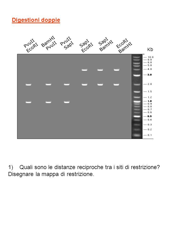 ESERCIZIO n°9 Un frammento di DNA lineare lungo 5000 bp viene sottoposto ad una serie di restrizioni analitiche che danno i seguenti risultati visualizzati con gel-elettroforesi: Kb EcoRI BamHI EcoRI BamHI 1)Quanti siti di restrizione ha EcoRI.