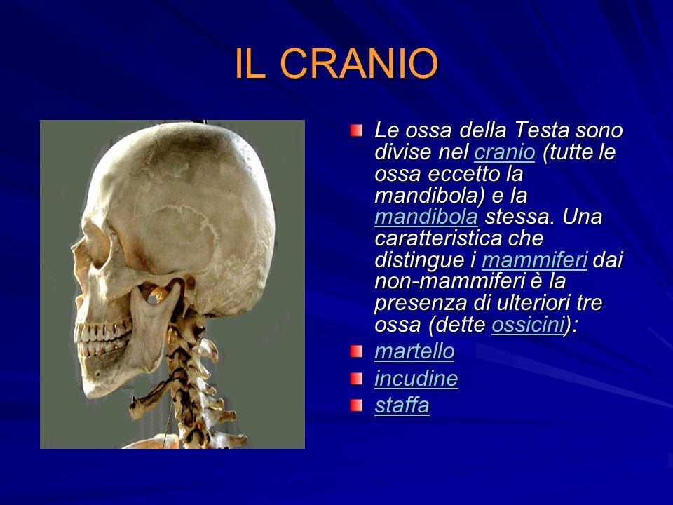 IL CRANIO Le ossa della Testa sono divise nel cranio (tutte le ossa eccetto la mandibola) e la mandibola stessa. Una caratteristica che distingue i ma