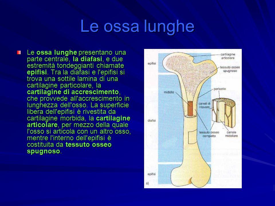 Le ossa lunghe Le ossa lunghe presentano una parte centrale, la diafasi, e due estremità tondeggianti chiamate epifisi. Tra la diafasi e l'epifisi si