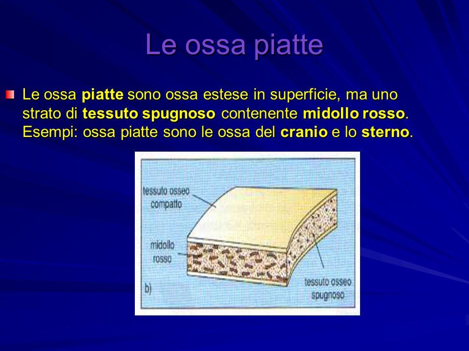 Le ossa piatte Le ossa piatte sono ossa estese in superficie, ma uno strato di tessuto spugnoso contenente midollo rosso. Esempi: ossa piatte sono le