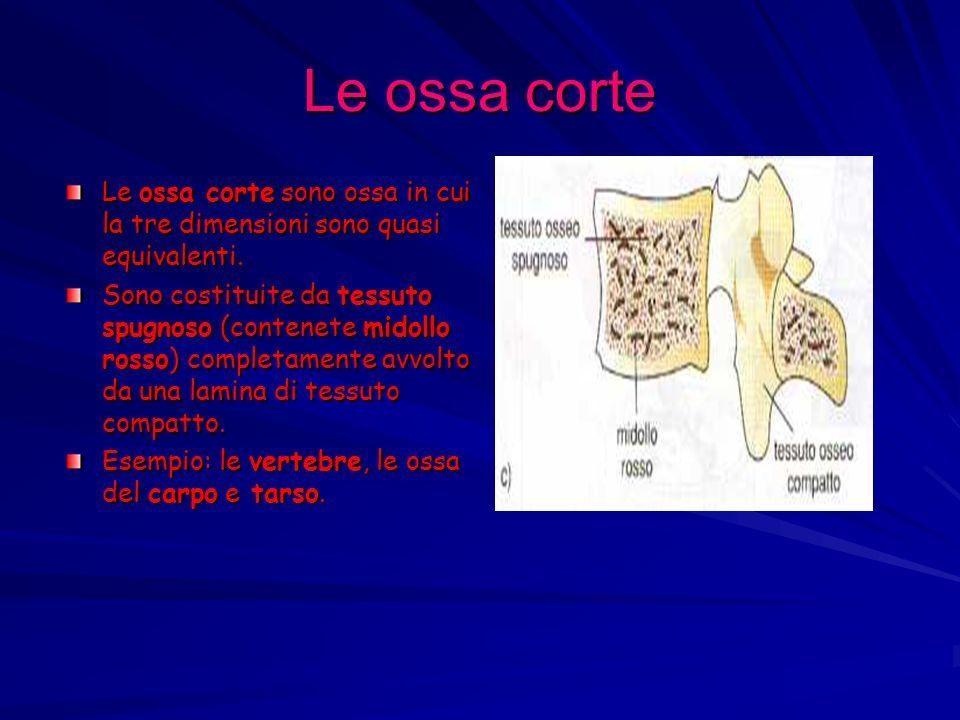 Le ossa corte Le ossa corte sono ossa in cui la tre dimensioni sono quasi equivalenti. Sono costituite da tessuto spugnoso (contenete midollo rosso) c