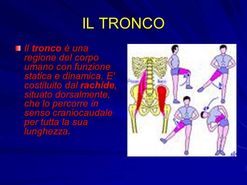 IL TRONCO Il tronco è una regione del corpo umano con funzione statica e dinamica. E' costituito dal rachide, situato dorsalmente, che lo percorre in
