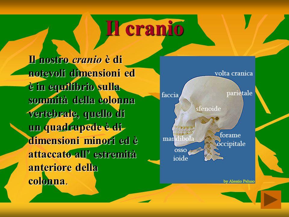 Tronco Formato da: gabbia toracica, colonna vertebrale e bacino.