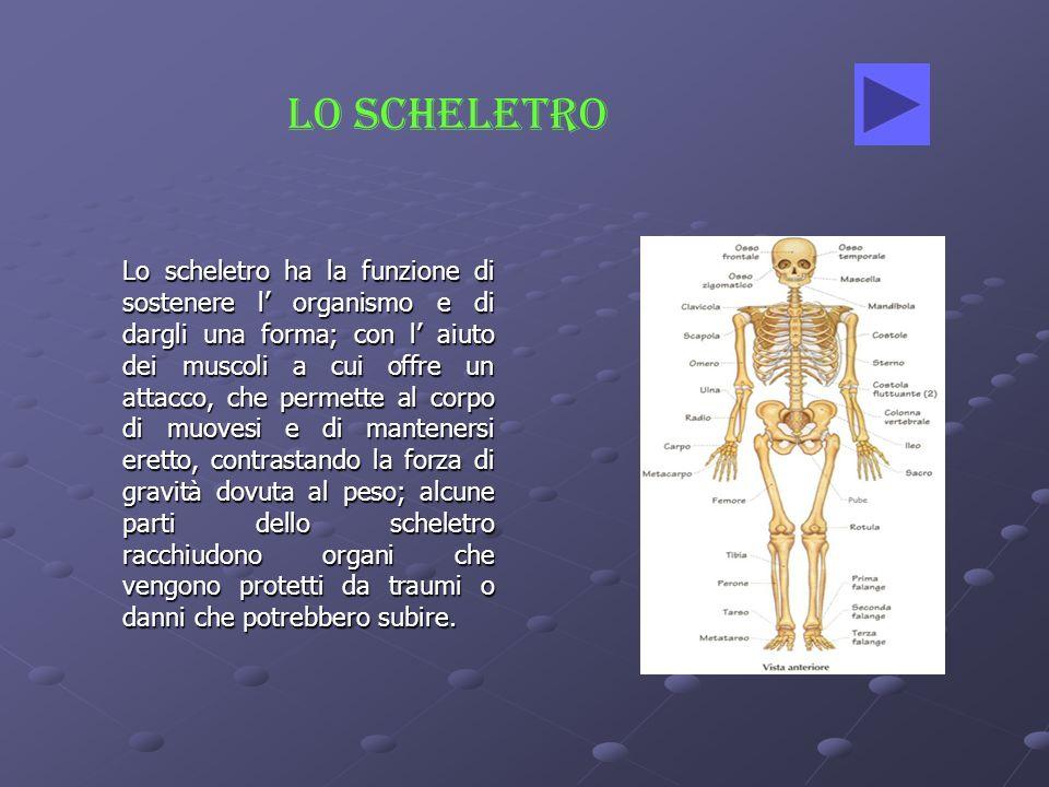 Lo scheletro ha la funzione di sostenere l organismo e di dargli una forma; con l aiuto dei muscoli a cui offre un attacco, che permette al corpo di m