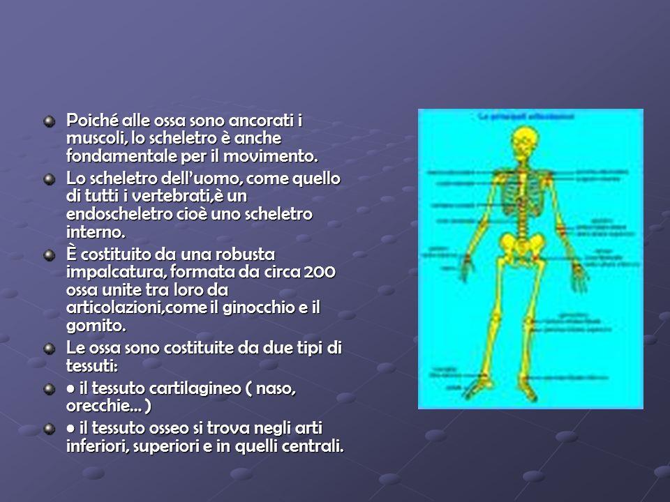 Poiché alle ossa sono ancorati i muscoli, lo scheletro è anche fondamentale per il movimento. Lo scheletro delluomo, come quello di tutti i vertebrati