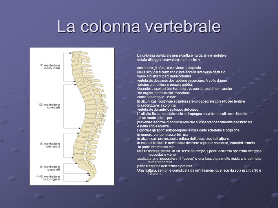 La colonna vertebrale La colonna vertebrale non è diritta e rigida, ma è mobile e dotata di leggere curvature per riuscire a sostenere gli sforzi a cu