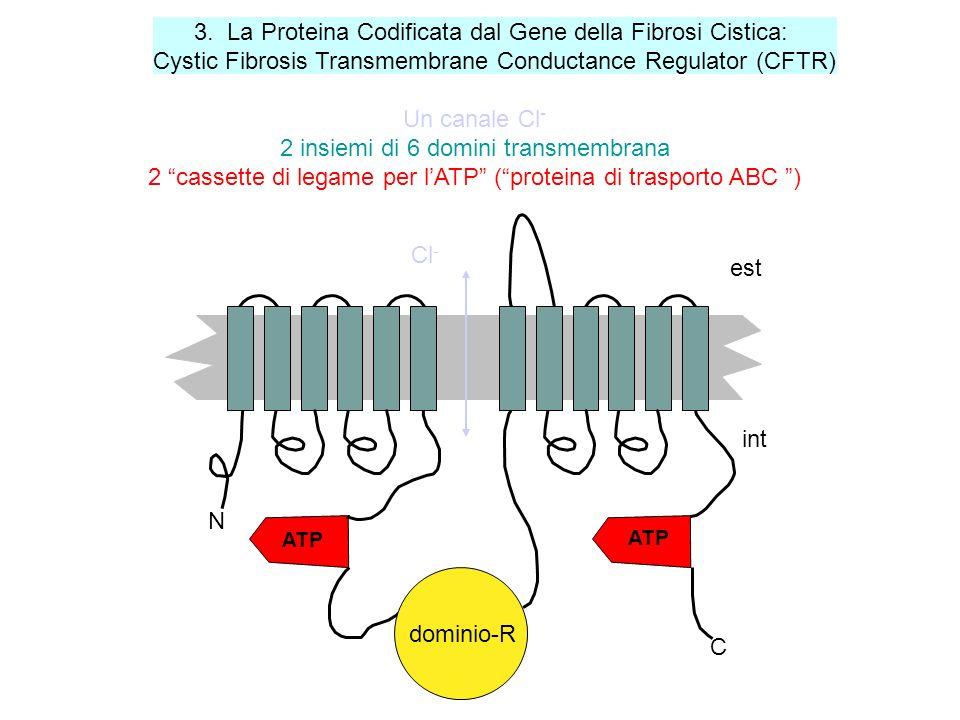 CFTR è un canale ionico attivato per via fosforilativa (dalla PKA, AMPc-dipendente). Nello stato defosforilato il canale è chiuso; quando uno solo dei
