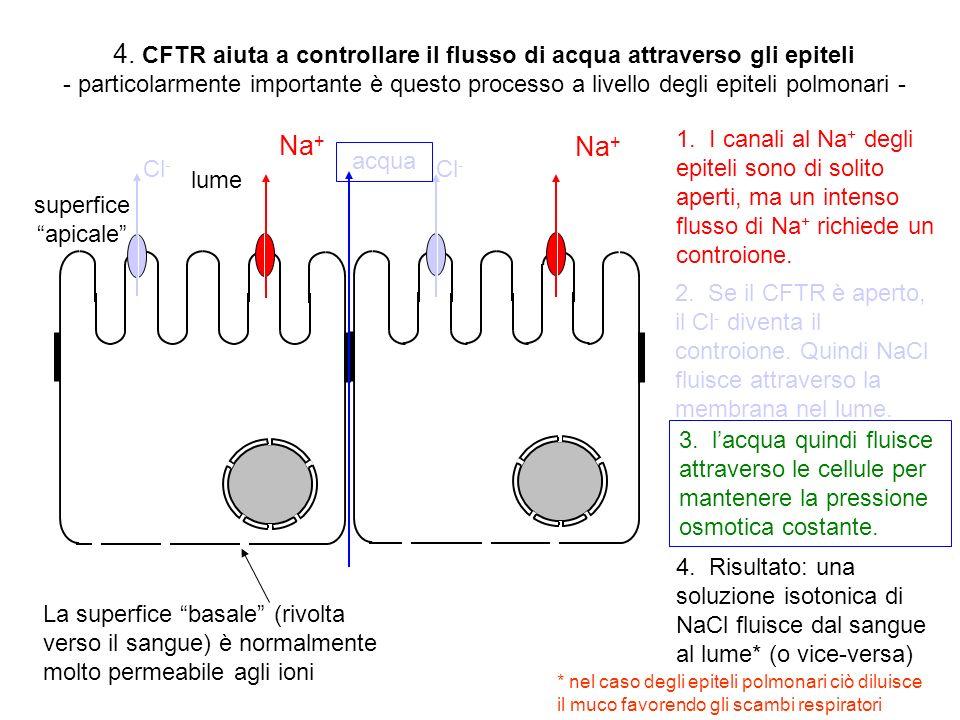 N C Cl - est int dominio-R ADP CFTR è un canale al Cl- attivato dalla fosforilazione e dallidrolisi dellATP