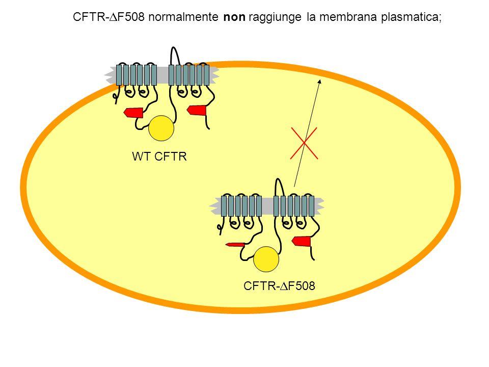 La mutazione più comune (70% dei mutanti): una delezione di un singolo codon (3-nt) in posizione 508 nella ATP-binding cassette #1. Una fenilalanina è
