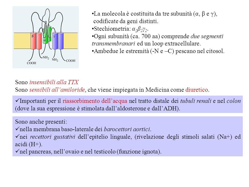 Denominazioni alternative: Sodium channels non-neuronal-1 (SCNN1) e Amiloride-sensitive Sodium channel (ASSC). Oltre che al Na +, il canale è anche pe