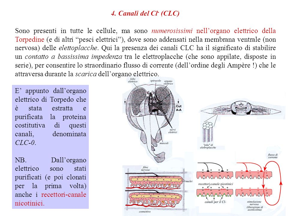 3. Canali cationici Praticamente tutte le cellule sono dotate di canali cationici (che escludono il Cl - ma lasciano passare tutti i cationi). Attrave
