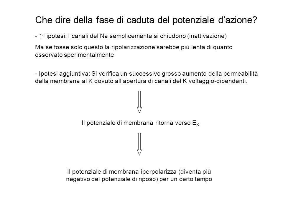 Qual è il ruolo dei canali del Na + nella genesi del potenziale dazione? 1. Osservazione di Hodgkin e Huxley (1939): – al picco di un potenziale dazio