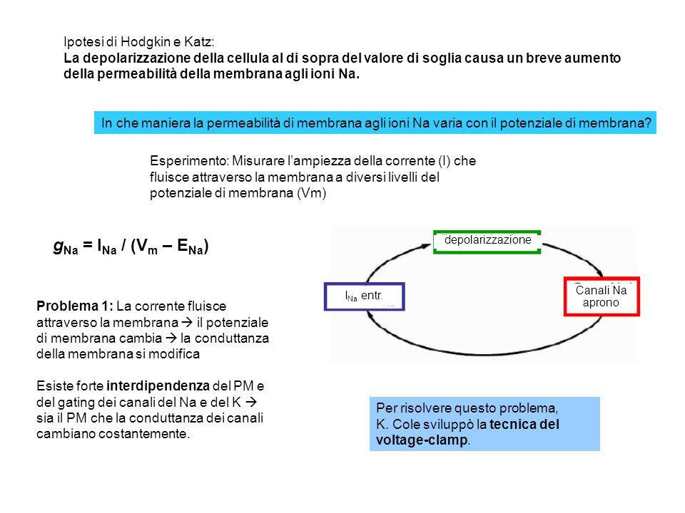 Che dire della fase di caduta del potenziale dazione? - 1 a ipotesi: I canali del Na semplicemente si chiudono (inattivazione) Ma se fosse solo questo