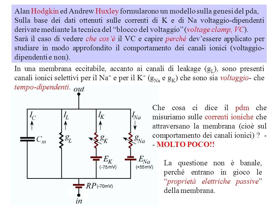 Ipotesi di Hodgkin e Katz: La depolarizzazione della cellula al di sopra del valore di soglia causa un breve aumento della permeabilità della membrana