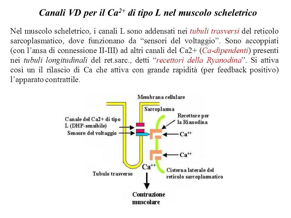 Canali voltaggio-dipendenti per il Ca2+ di tipo L I canali L o recettori per le di-idro-piridine (DHP, come la Nifedipina o la nimodipina) hanno uneno