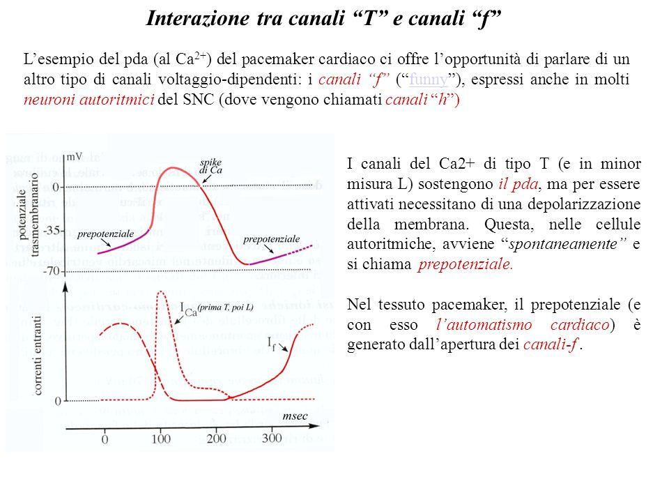 Non mancano esempi di pda sostenuti solo dallingresso autorigenerativo di Ca2+, come il gigantesco pda delle cellule del Purkinje del cervelletto, evo