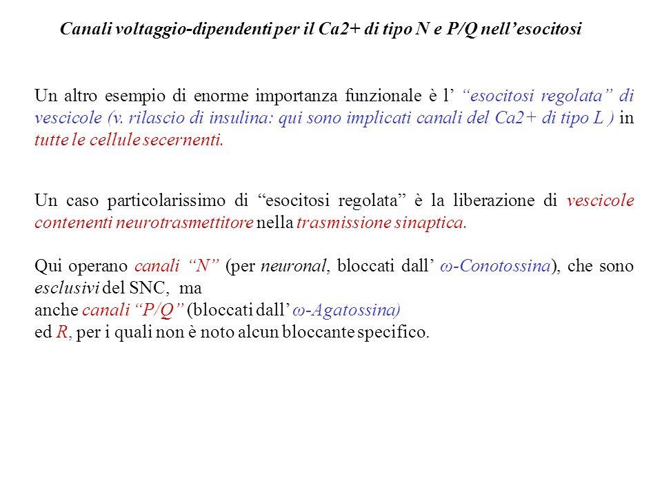 Modulazione dei Canali f Di grande importanza è la modulazione (variazione della sensibilità al voltaggio) dei canali f operata dallorto- e dal para-s
