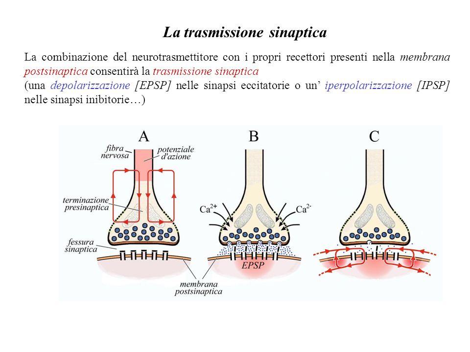 Qui operano canali N (per neuronal, bloccati dall ω-Conotossina), che sono esclusivi del SNC, ma anche canali P/Q (bloccati dall ω-Agatossina) ed R, p