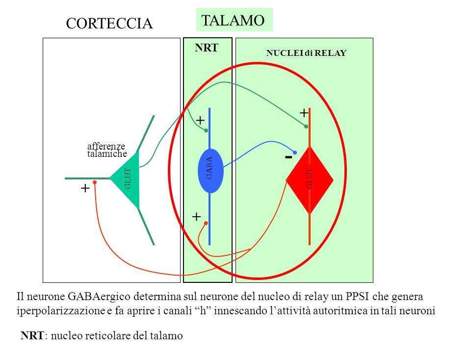 La corteccia cerebrale è costituita da sei strati. Le afferenze talamiche arrivano al IV strato. Le fibre efferenti (motrici) partono dal V e VI strat