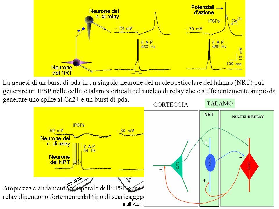 + + + + - GABA GLUT CORTECCIA NUCLEI di RELAY TALAMO NRT Il neurone GABAergico determina sul neurone del nucleo di relay un PPSI che genera iperpolari