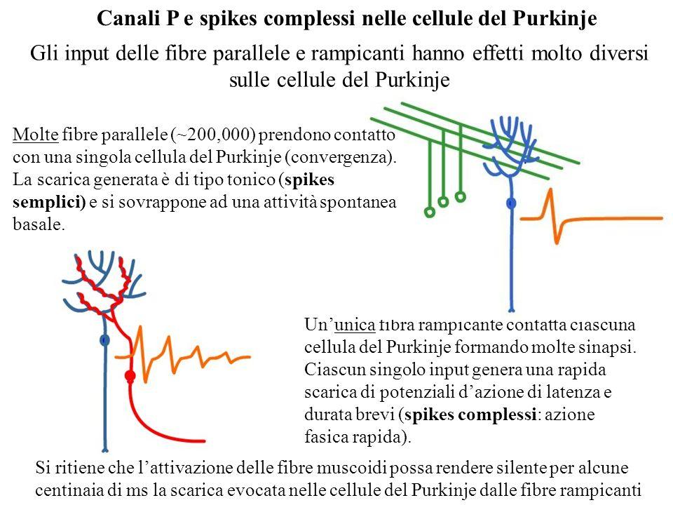 Cellule pacemaker talamiche: cosa le attiva e cosa le spegne? le cellule pacemaker del nucleo di relay del talamo che scaricano ritmicamente a bursts