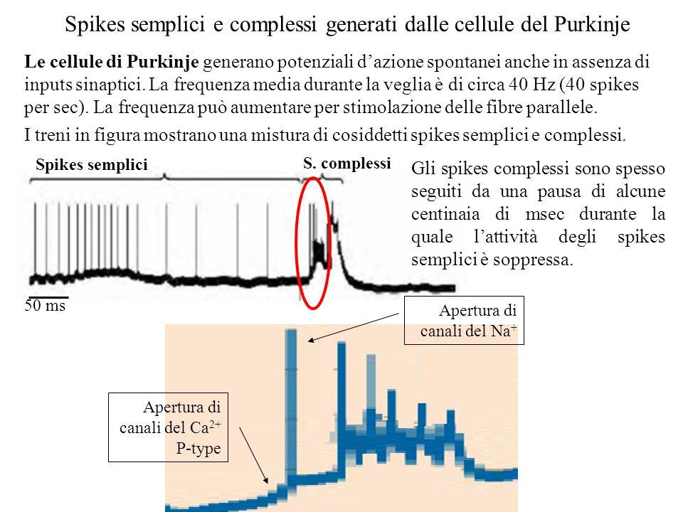 Ununica fibra rampicante contatta ciascuna cellula del Purkinje formando molte sinapsi. Ciascun singolo input genera una rapida scarica di potenziali