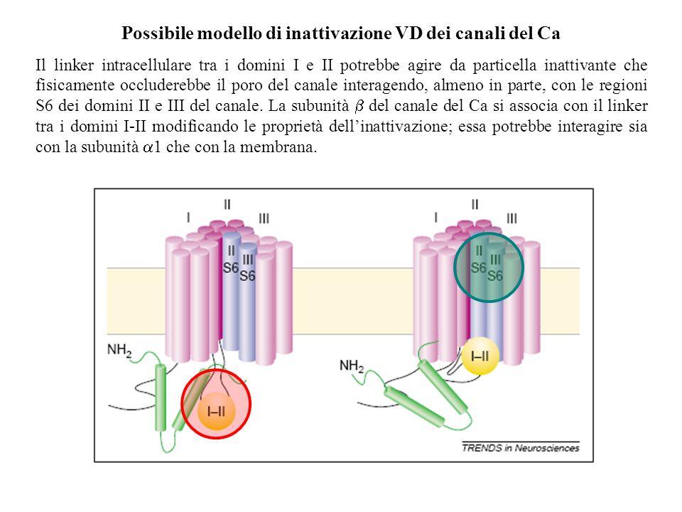 Possibile modello di inattivazione VD dei canali del Ca Il linker intracellulare tra i domini I e II potrebbe agire da particella inattivante che fisicamente occluderebbe il poro del canale interagendo, almeno in parte, con le regioni S6 dei domini II e III del canale.