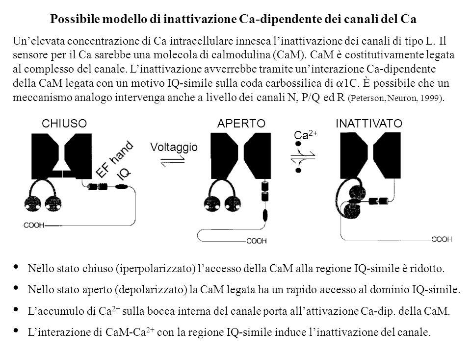 Possibile modello di inattivazione Ca-dipendente dei canali del Ca Unelevata concentrazione di Ca intracellulare innesca linattivazione dei canali di tipo L.