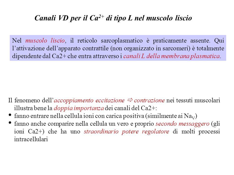 Possibile modello di inattivazione Ca-dipendente dei canali del Ca Unelevata concentrazione di Ca intracellulare innesca linattivazione dei canali di