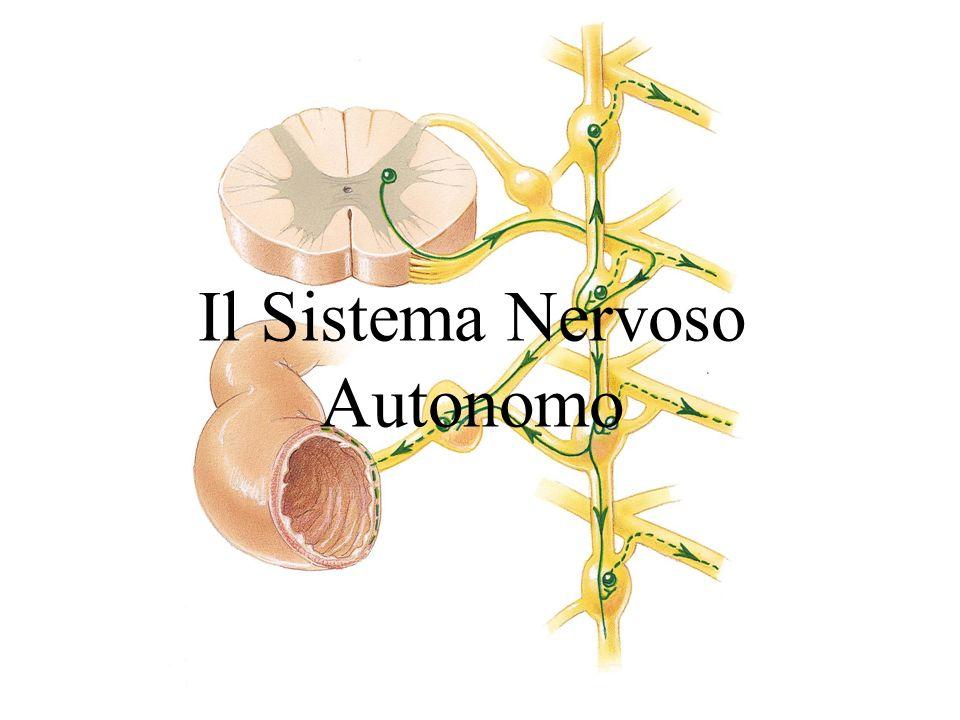 Il SNA è la parte del sistema nervoso periferico che regola quelle attività corporee che generalmente non sono sotto il controllo della coscienza É costituito da un gruppo speciale di neuroni che innervano: –La muscolatura cardiaca –La muscolatura liscia (pareti dei visceri e dei vasi sanguigni) –Gli organi interni –Cute (muscoli piloerettori e ghiandole sudoripare) Il Sistema Nervoso Autonomo