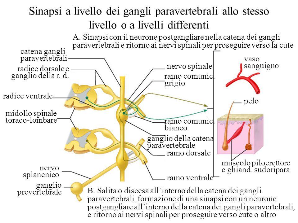 catena gangli paravertebrali radice dorsale e ganglio della r. d. radice ventrale midollo spinale toraco-lombare nervo splancnico ganglio prevertebral