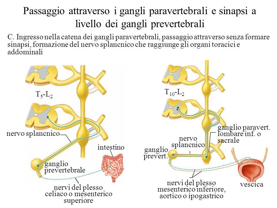 C. Ingresso nella catena dei gangli paravertebrali, passaggio attraverso senza formare sinapsi, formazione del nervo splancnico che raggiunge gli orga