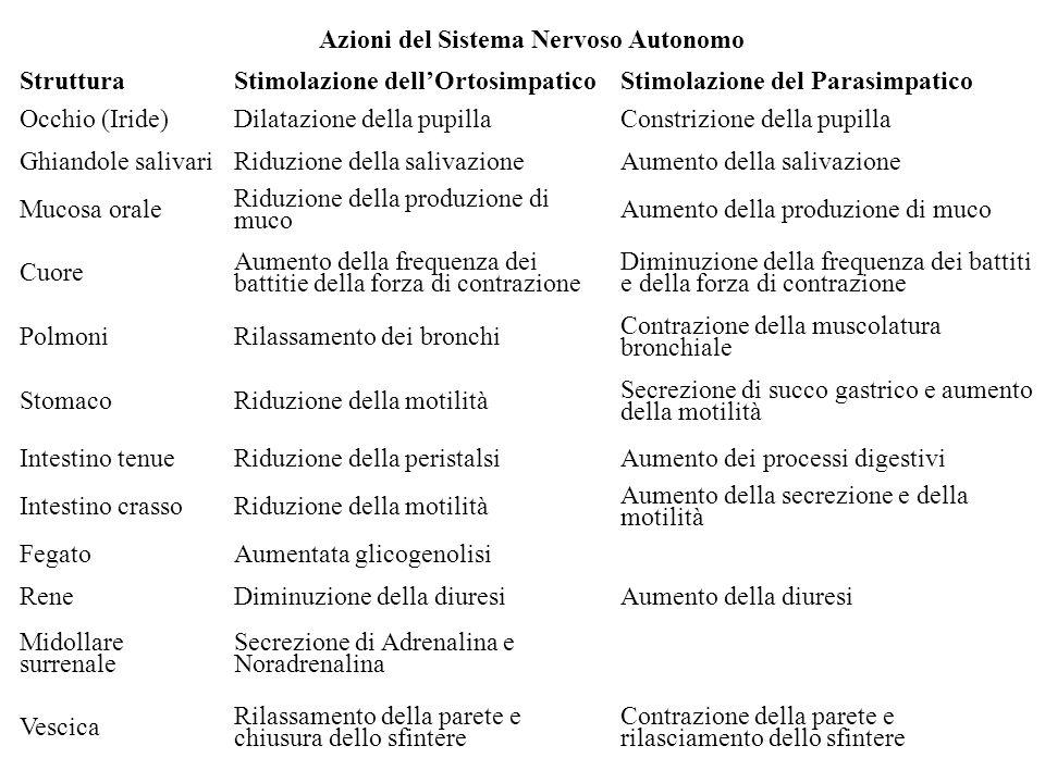 Azioni del Sistema Nervoso Autonomo StrutturaStimolazione dellOrtosimpaticoStimolazione del Parasimpatico Occhio (Iride)Dilatazione della pupillaConst