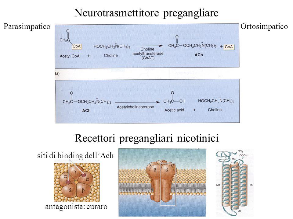 Neurotrasmettitore pregangliare ParasimpaticoOrtosimpatico Recettori pregangliari nicotinici siti di binding dellAch antagonista: curaro