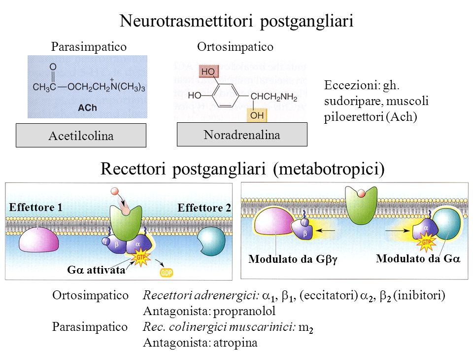 Neurotrasmettitori postgangliari Acetilcolina ParasimpaticoOrtosimpatico Eccezioni: gh. sudoripare, muscoli piloerettori (Ach) Noradrenalina Recettori