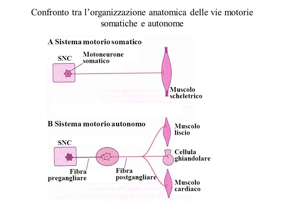 SNC Motoneurone somatico Muscolo scheletrico Fibra pregangliare Fibra postgangliare Muscolo liscio Muscolo cardiaco Cellula ghiandolare A Sistema moto