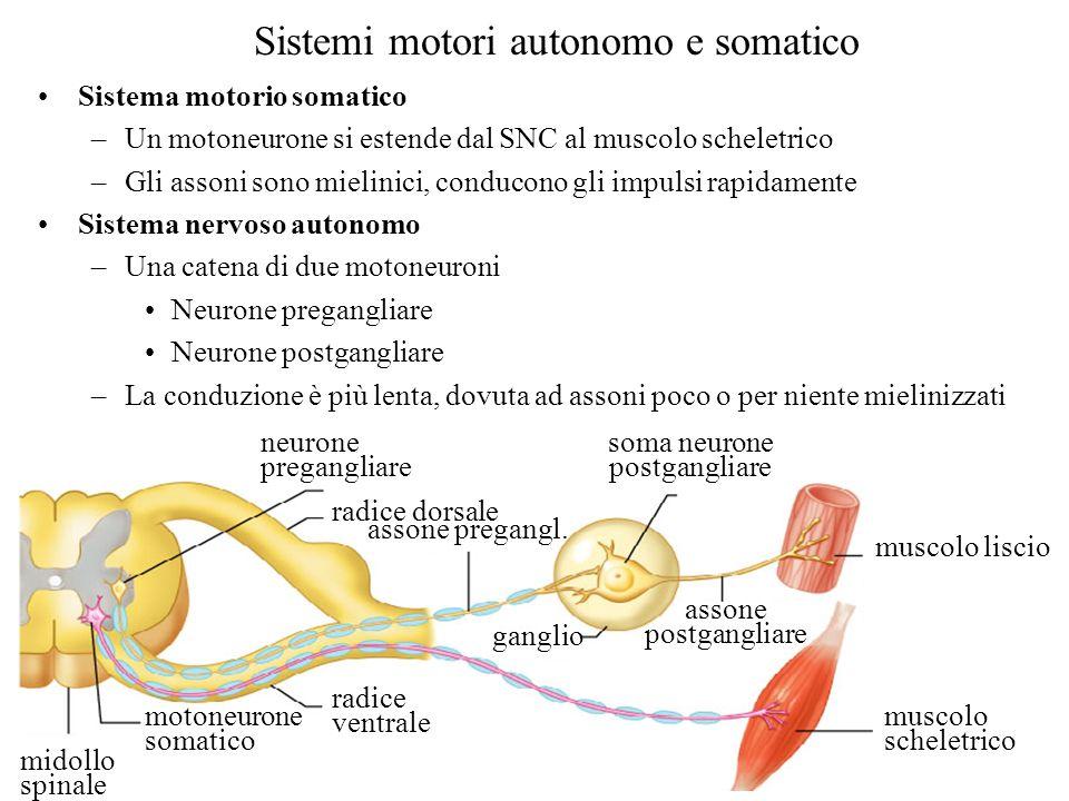 Sistemi motori autonomo e somatico neurone pregangliare radice dorsale midollo spinale motoneurone somatico radice ventrale assone pregangl. ganglio a