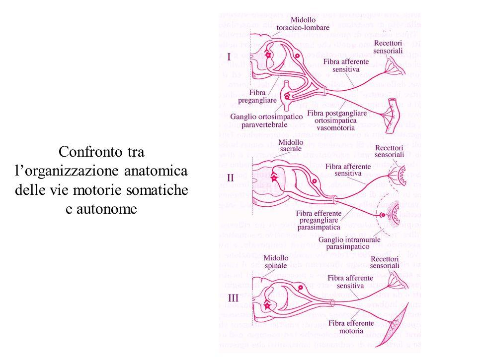 Azioni del Sistema Nervoso Autonomo StrutturaStimolazione dellOrtosimpaticoStimolazione del Parasimpatico Occhio (Iride)Dilatazione della pupillaConstrizione della pupilla Ghiandole salivariRiduzione della salivazioneAumento della salivazione Mucosa orale Riduzione della produzione di muco Aumento della produzione di muco Cuore Aumento della frequenza dei battitie della forza di contrazione Diminuzione della frequenza dei battiti e della forza di contrazione PolmoniRilassamento dei bronchi Contrazione della muscolatura bronchiale StomacoRiduzione della motilità Secrezione di succo gastrico e aumento della motilità Intestino tenueRiduzione della peristalsiAumento dei processi digestivi Intestino crassoRiduzione della motilità Aumento della secrezione e della motilità FegatoAumentata glicogenolisi ReneDiminuzione della diuresiAumento della diuresi Midollare surrenale Secrezione di Adrenalina e Noradrenalina Vescica Rilassamento della parete e chiusura dello sfintere Contrazione della parete e rilasciamento dello sfintere